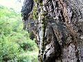 Aeshna affinis (7).jpg
