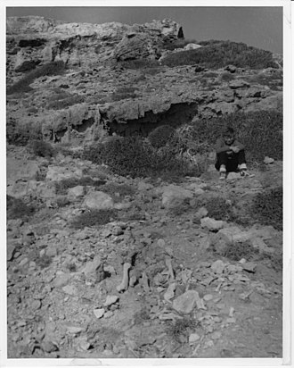 Aetokremnos - Aetokremnos upon its discovery, 1960, with fossil remains in the foreground