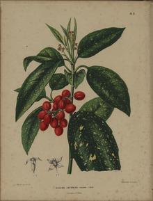 Aucuba japonica Wikipedia