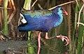 African (Purple) Swamphen, Porphyrio madagascariensis at Marievale Nature Reserve, Gauteng, South Africa (24212388271).jpg