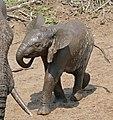 African Elephant (Loxodonta africana) calf (31972198210).jpg
