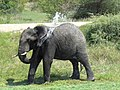 African Elephant shower.jpg
