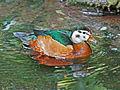 African Pygmy Goose female RWD.jpg