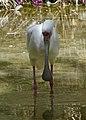 African Spoonbill - Platalea alba - Afrikanischer Löffler - 04.jpg