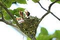 African paradise flycatchers, Terpsiphone viridis, nesting at at Walter Sisulu National Botanical Garden, December 1, 2014 (15940998991).jpg