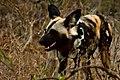 African wild dog (6216218191).jpg