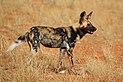 African wild dog (Lycaon pictus pictus).jpg