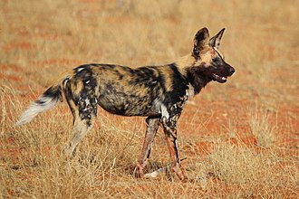 African wild dog - African wild dog at Tswalu Kalahari Reserve in South Africa.