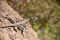 Agama agama - eldhuvudagam - Rainbow Agama-5035 - Flickr - Ragnhild & Neil Crawford.jpg