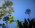 Agapanthus Flowers.jpg