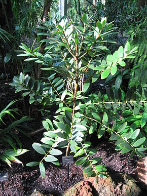 Description de l'image Agathis ovata - Atlanta Botanical Garden.JPG.