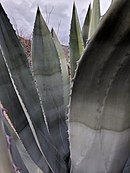 Agave at the El Paso Museum of Archeaology.jpg