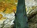 Agave cerulata ssp. subcerulata.jpg
