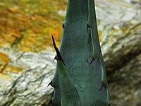 Agave cerulata ssp. subcerulata
