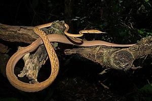 Ahaetulla prasina - Image: Ahaetulla prasina Asian vine snake (orange morph)