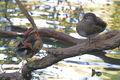 Aix galericulata-suneko2.jpg