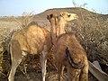 Alaili Dadda, Djibouti - panoramio (1).jpg