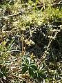 Alchemilla alpina06.jpg