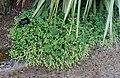 Alchemilla conjuncta - RHS Garden Harlow Carr - North Yorkshire, England - DSC01543.jpg