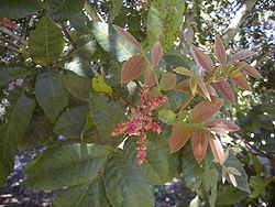 Alectryon tomentosus foliage and flowers 2.jpg
