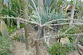 Alluaudia humbertii -Jardin des plantes de Nantes (5).jpg