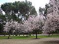 Almendros en flor VII.jpg