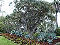 Aloe bainesii barberae Aloe Tree, Huntington.jpg