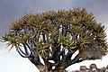 Aloe dichotoma - Quiver Tree Forest (Kokerboom Woud)-1360 - Flickr - Ragnhild & Neil Crawford.jpg