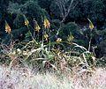Aloe pluridens, a, Krantzkloof Natuurreservaat.jpg