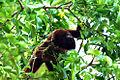 Alouatta arctoidea (Ursine howler monkey).jpg
