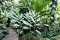 Alpinia purpurata Jungle King 3zz.jpg