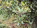 Alseodaphne semecarpifolia 21.JPG