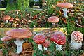 Also the 2nd wave of Amanita Muscaria (Fly Agaric mushroom. Quintessential it is a toadstool because of its poissoness. Syn. Fly amanita, D= Fliegenpilz, F= Amanite tue-mouches, NL= Vliegenzwam)appears again at Arnhem H - panoramio.jpg