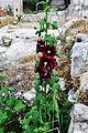 Althaea rosea var.nigra Blck Hollyhock შავი ტუხტი.jpg