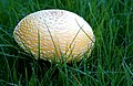 Amanita sp. (Autumn fungus).jpg
