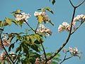 Amapa Rosa (348680341).jpg