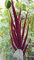 Amaranthus cruentus L.-1F.jpg