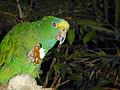 Amazone mit Fluffernutter.jpg
