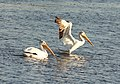 American White Pelican, 68th and Burlingame, Byron Center, MI, 14 September 2014 (15248585335).jpg