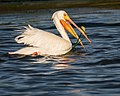 American White Pelican, breeding adult (34081014076).jpg
