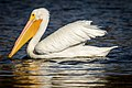 American White Pelican, non-breeding adult (38164183581).jpg