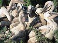American White Pelican Creche (7462472830).jpg