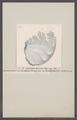 Ammonites flexuosus gigas - - Print - Iconographia Zoologica - Special Collections University of Amsterdam - UBAINV0274 091 01 0062.tif