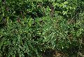 Amorpha fruticosa 2.jpg