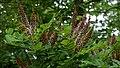 Amorpha ouachitensis (2).jpg