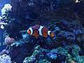 Amphiprion ocellaris 01.jpg