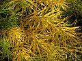 Amsonia hubrichtii autumn foliage - Flickr - peganum (1).jpg