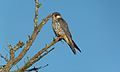 Amur Falcon Female (Falco amurensis) (6032057113).jpg