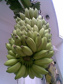 An entire cluster of plantains..jpg