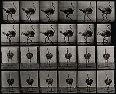 An ostrich walking. Photogravure after Eadweard Muybridge, 1 Wellcome V0048787.jpg